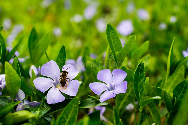 Bee on a lilac flower. Bright green plant with lilac flowers and bee _ front focus royalty free stock photo
