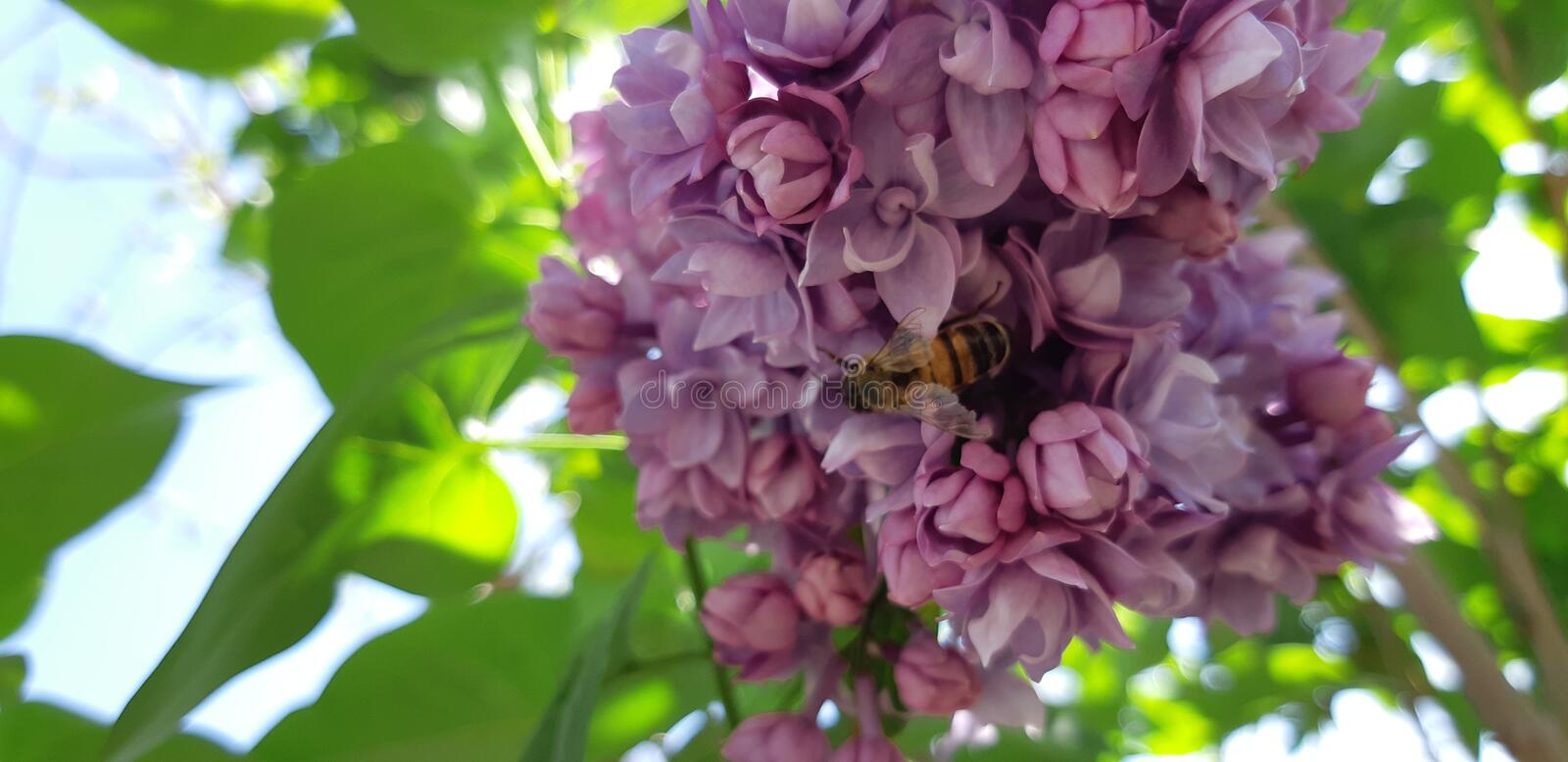 Bee and lilac. Spring time bee at workin in the purple lilac sun rays stock photography