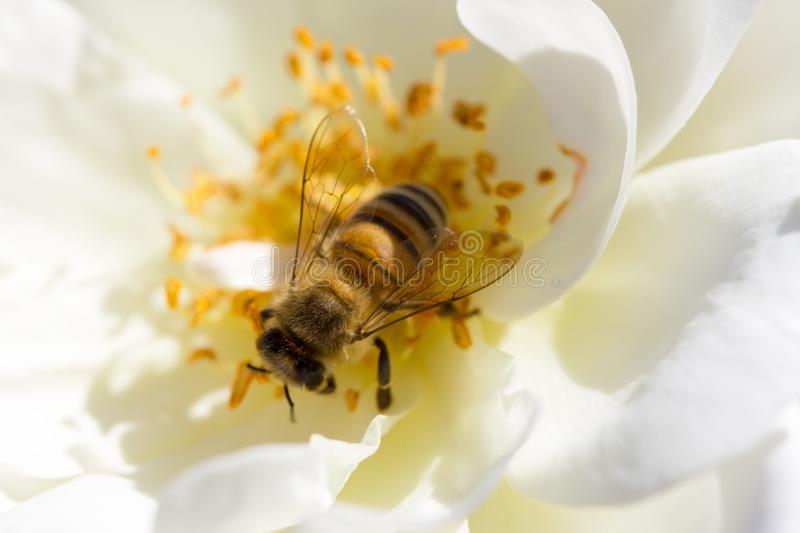 Bee looking down the center of a white rose seaching for nectar stock image