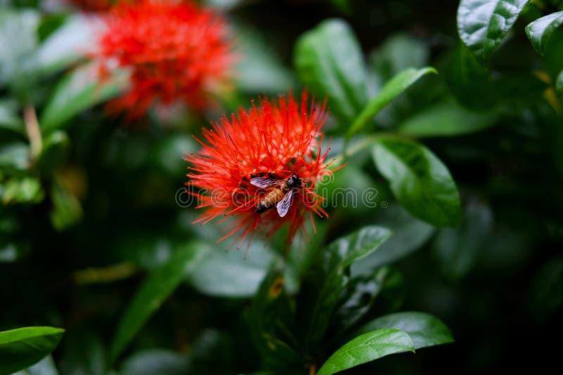 Bee on the Ixora flower stock photos