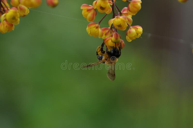Bee on the berberis flower. Bee is looking for a nectar in the berberis flowers. Close-up view stock photo