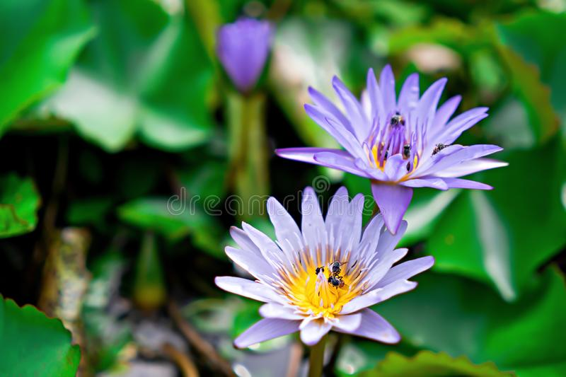 Bee in Lotus flower of purple with nature light stock image