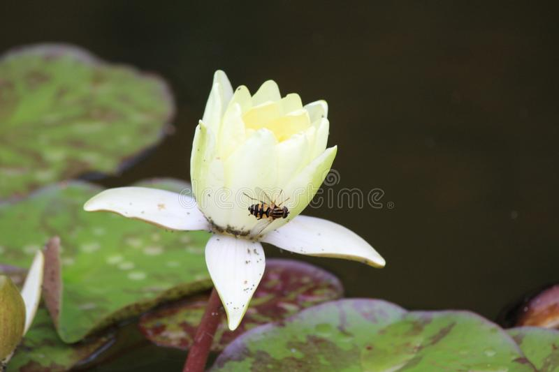 The bee on the Lotus stock photos