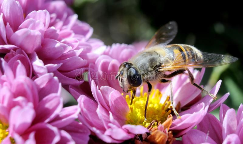 Bee macro. Macro photography - pink chrysantemums with a bee royalty free stock image