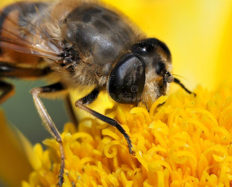 Bee macro. Over yellow flower stock images