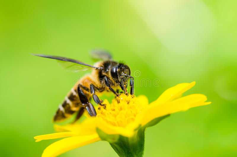 Bee macro in green nature. Or in the garden royalty free stock photo