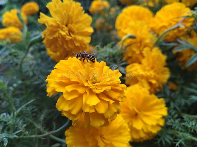 A bee and marigold for honey and pollen grain in a garden of home in Imphal, India stock photography
