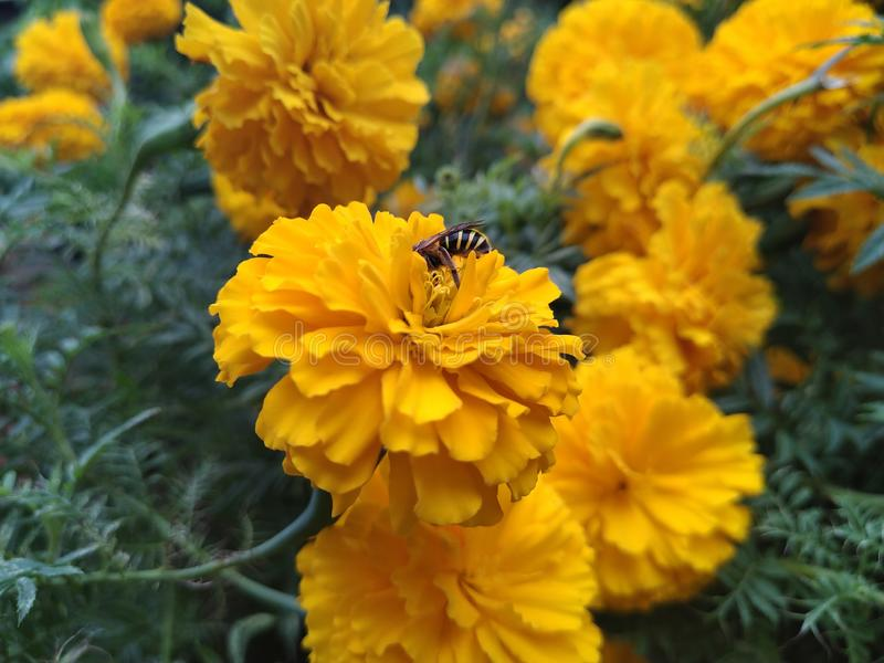 A bee and marigold for honey and pollen grain in a garden of home in Imphal, India stock images