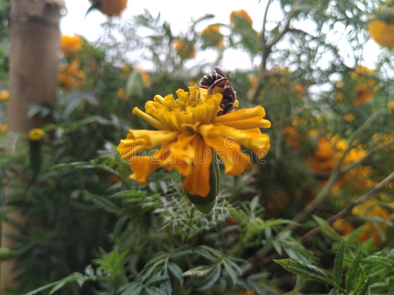 A bee and marigold for honey and pollen grain in a garden of home in Imphal, India royalty free stock image
