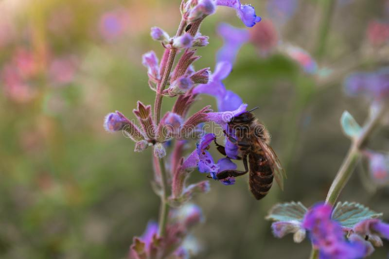 Bee on meadow flower in sunset light, close-up stock image