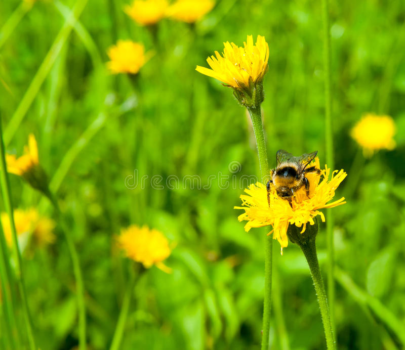 Download Bee on a meadow stock photo. Image of pollen, petal, collecting - 35482282