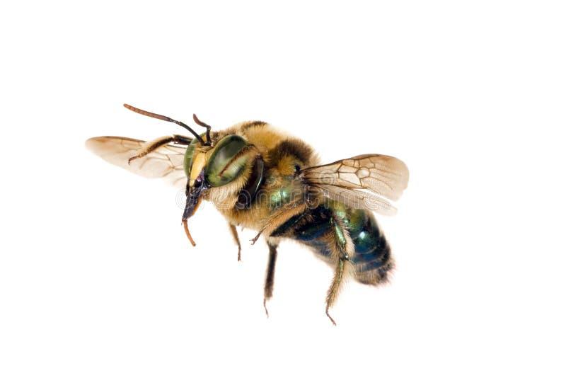 Bee, Metallic Green Carpenter. Xylocopa lestis, Australian native bee, wingspan 20mm stock photos