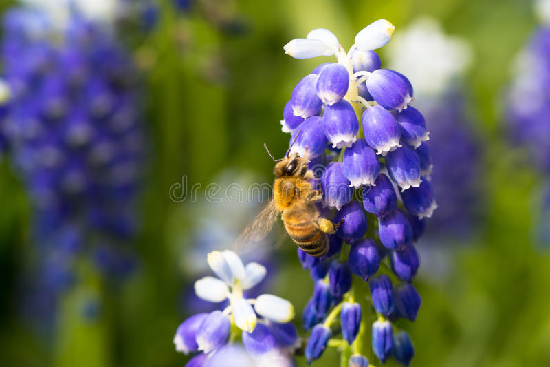 Bee on muscari flowers royalty free stock photography