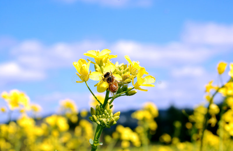 Bee and Mustard Flowers. Bright field of wild mustard flowers with a bee stock photography