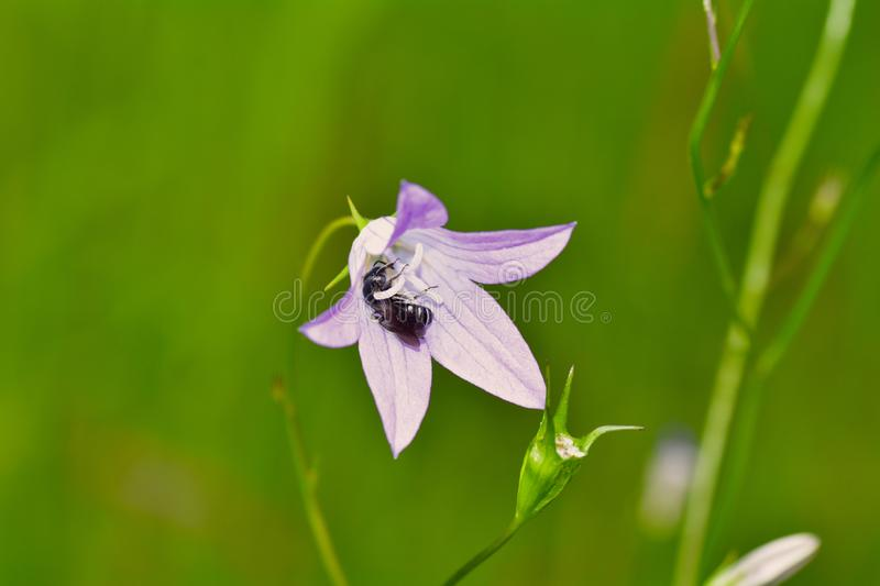 Bee at nactar  collecting on bluebell in green nature royalty free stock photography
