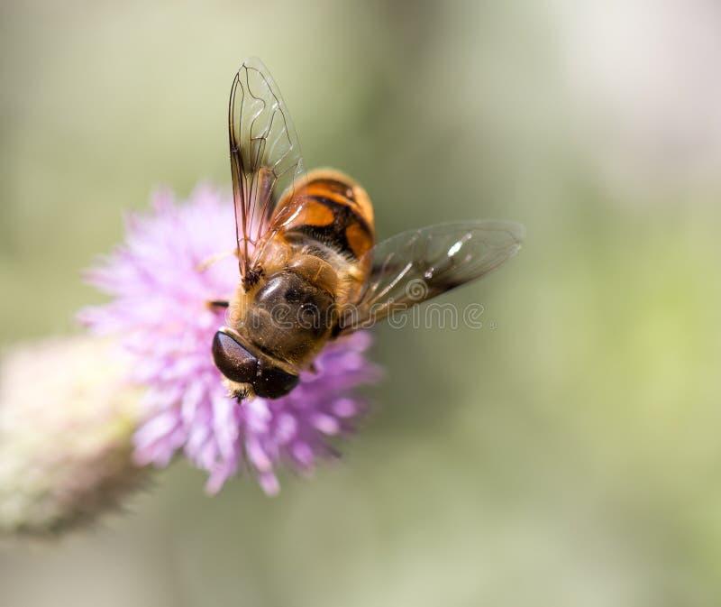 Bee on nature. macro stock photography
