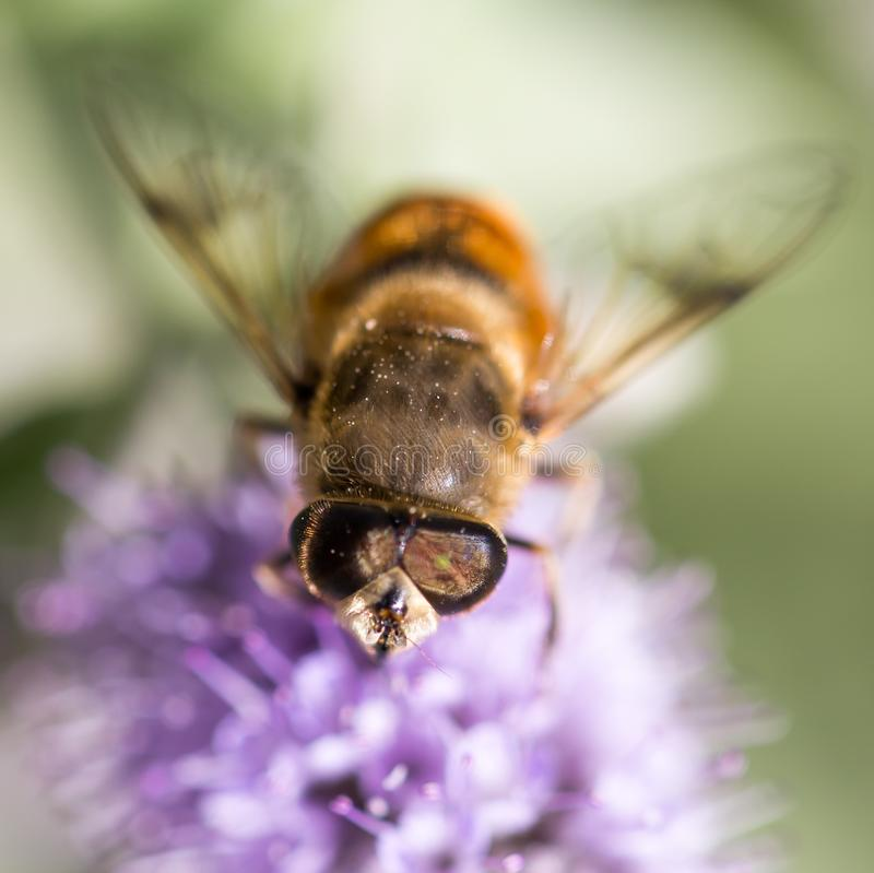 Bee on nature. macro stock photo