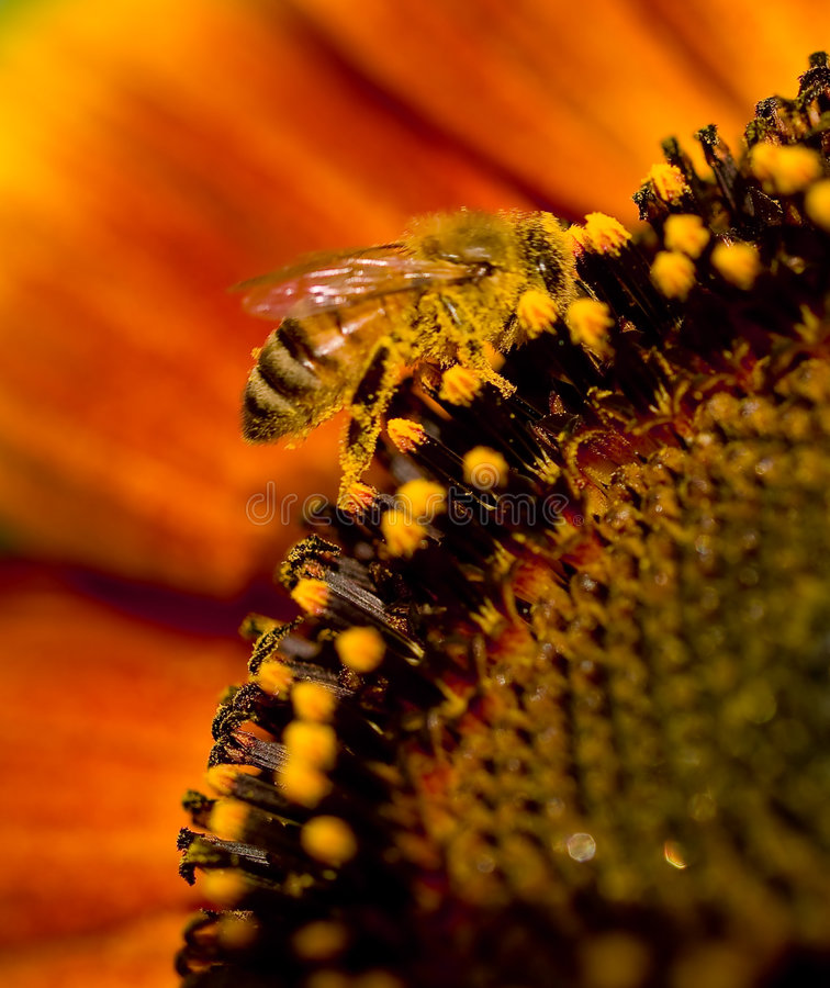 Free Bee On A Sunflower 2 Stock Photos - 7331773