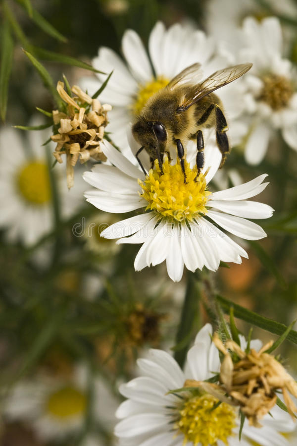 Free Bee On White Flower At Midday Stock Images - 12979534