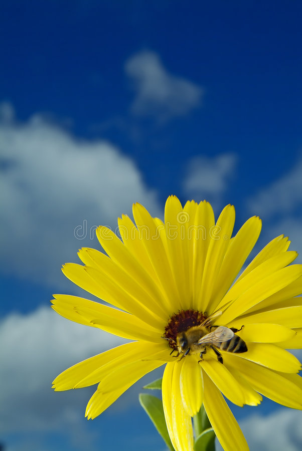 Free Bee On Yellow Flower Stock Images - 3984224