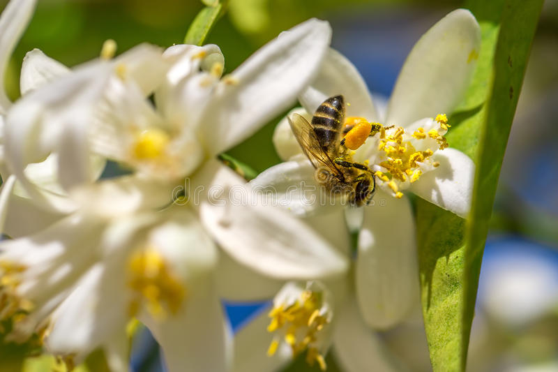 Bee on an orange tree flower. White flowers on the brunch of the tree. Macro stock photo