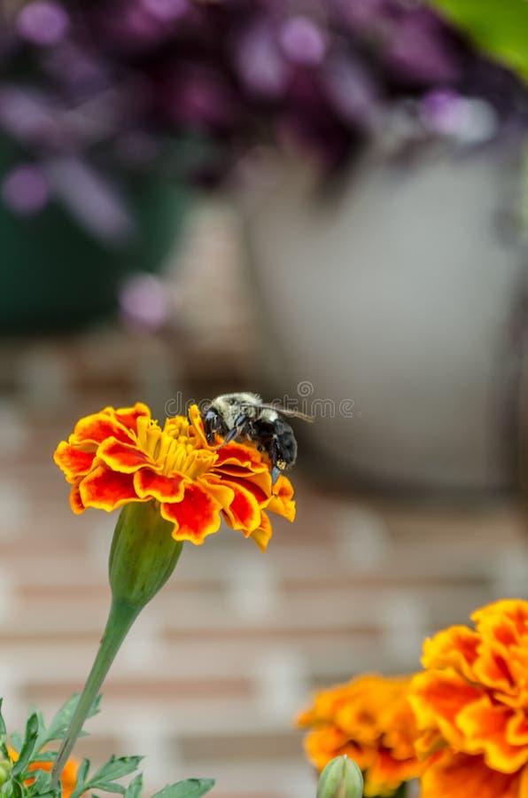 Bee on orange wildflower. In field stock image