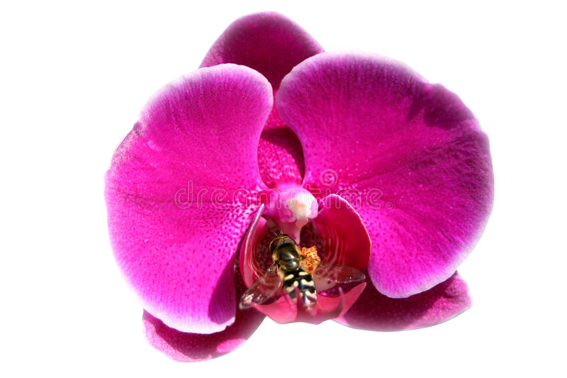 Bee on orchid stock photos