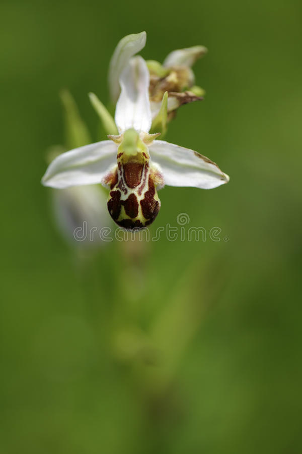 Free Bee Orchid, Ophrys Apifera, Flowering European Terrestrial Wild Orchid, Nature Habitat, Detail Of Two Beautiful Bloom, Green Clear Stock Photography - 80550482
