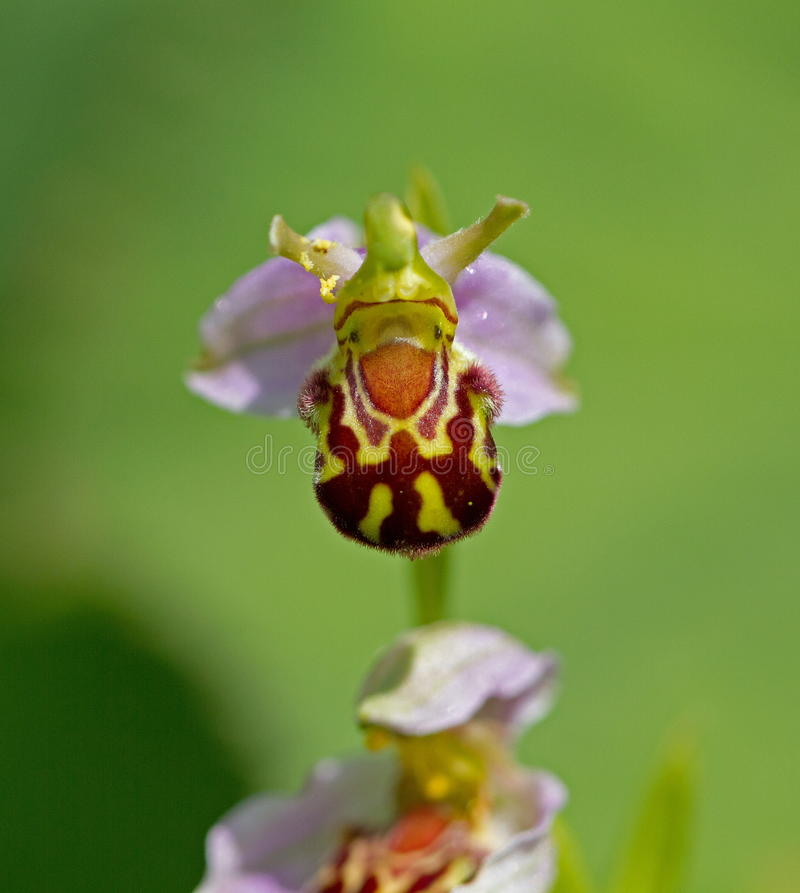 Bee Orchid stock images
