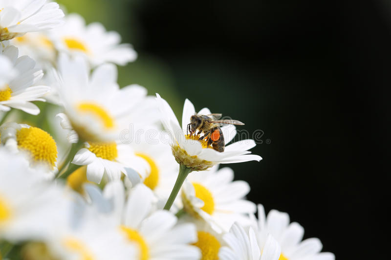 Download Bee on Oxeye Daisy stock image. Image of beam, botany - 32298001