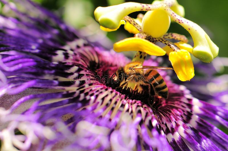 Bee on passiflora. Honey bee walking on a passiflora in an aviary in Butterfly World, South Florida stock image