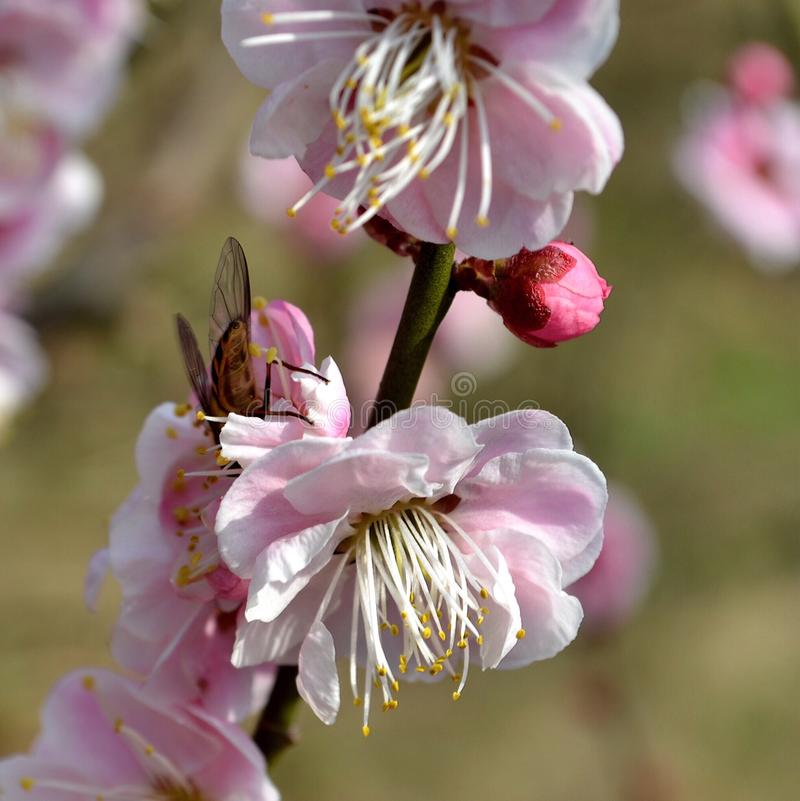 Bee and peach blossom stock photography