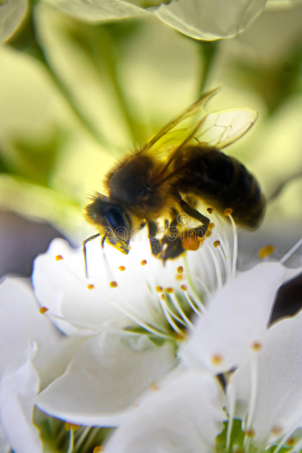 Bee on on pear flower stock image
