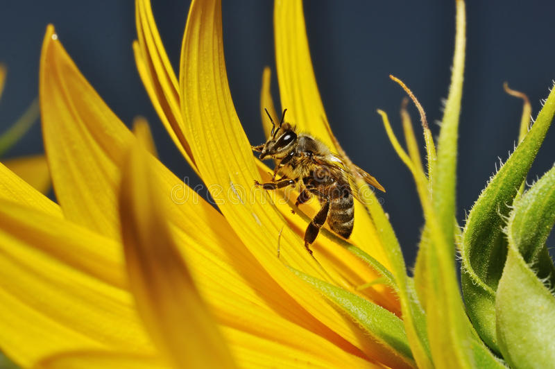 Bee on petals of a flower of sunflower stock images