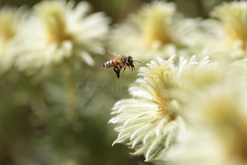 Bee and Phylica pubescens featherhead stock photography