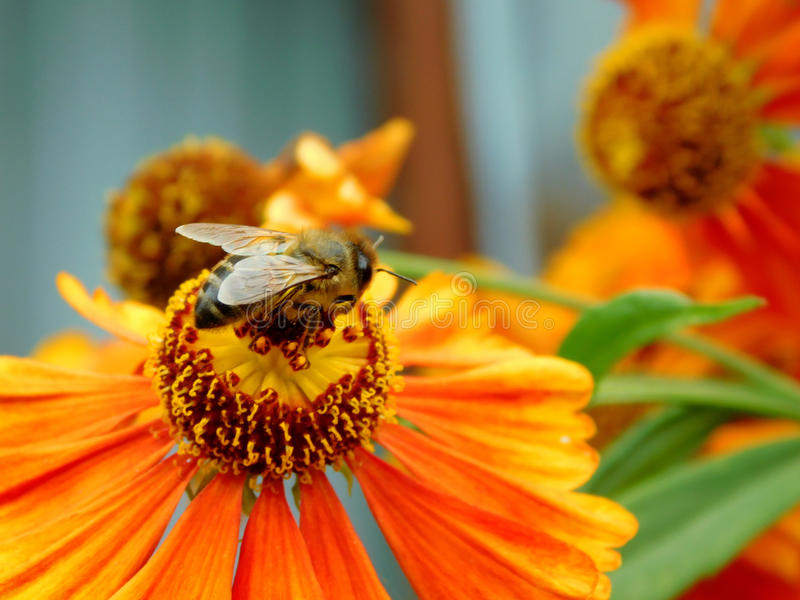 A bee picking up a nectar. A bee sitting on a flower on a sunny day and picking up a nectar royalty free stock photos