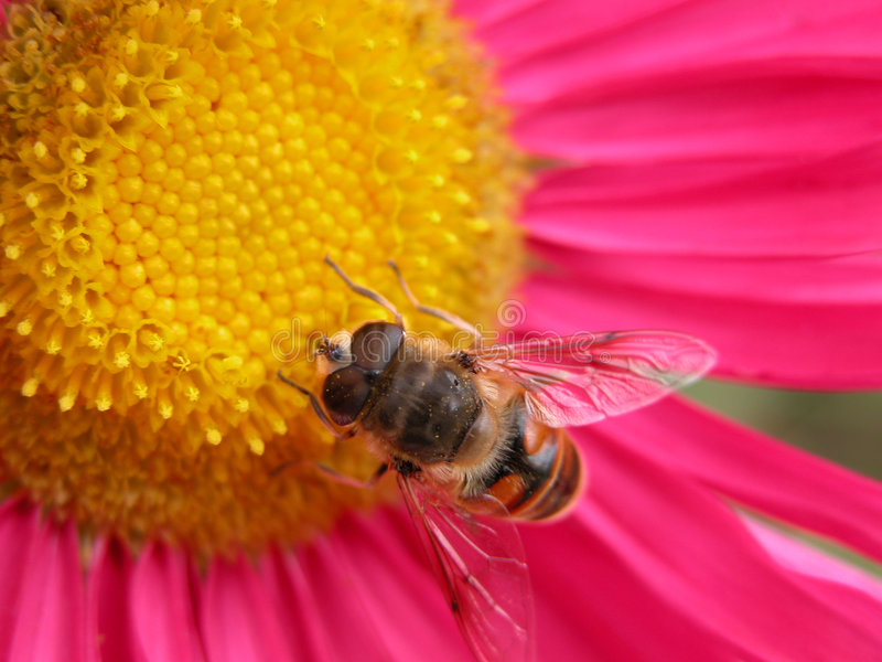 Bee on a pink flower 1. Bee on a pink flower stock photography