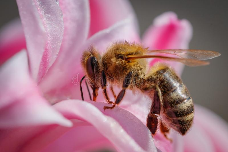 Bee on a pink flower collecting pollen and gathering nectar to p. Roduce honey in the hive royalty free stock image