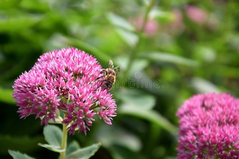 Bee on Pink Flower Summer Closeup Stock Photo stock photos