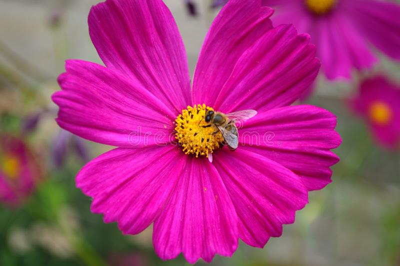 Bee on Pink Garden Cosmos Flower. Genus Cosmos, species bipinnatus, Family asteraceae. Common names garden cosmos or Mexican aster. Southern United States and stock image