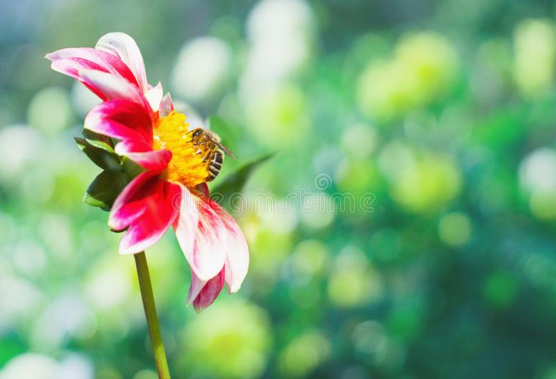 A bee on a pink and white dahlia flower in the garden royalty free stock photos
