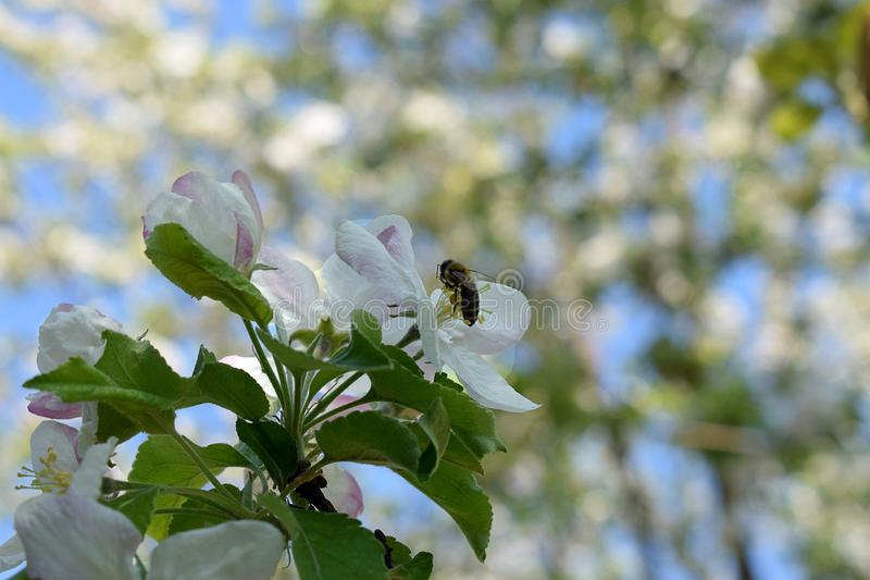 The bee pollinates the flower royalty free stock photo