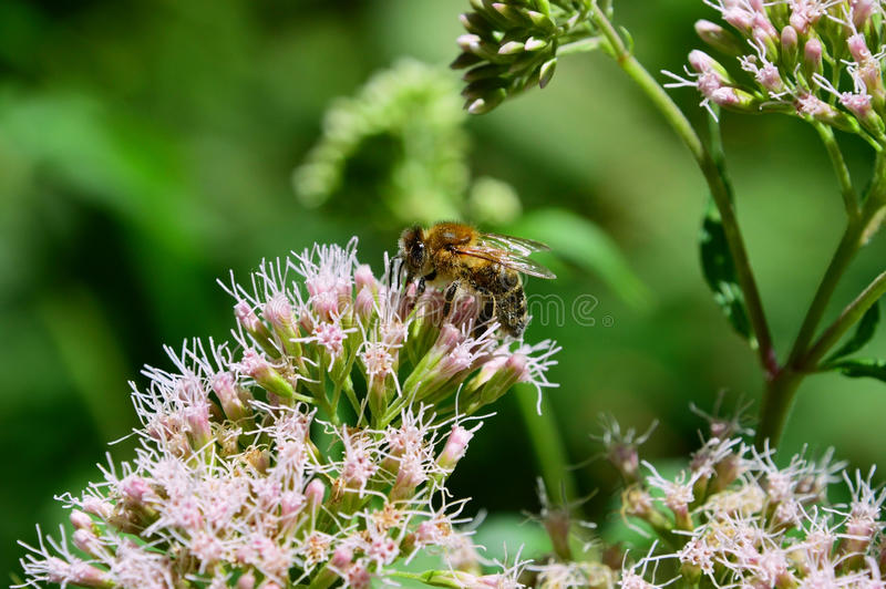 Bee plugged to flower pollen stock photo