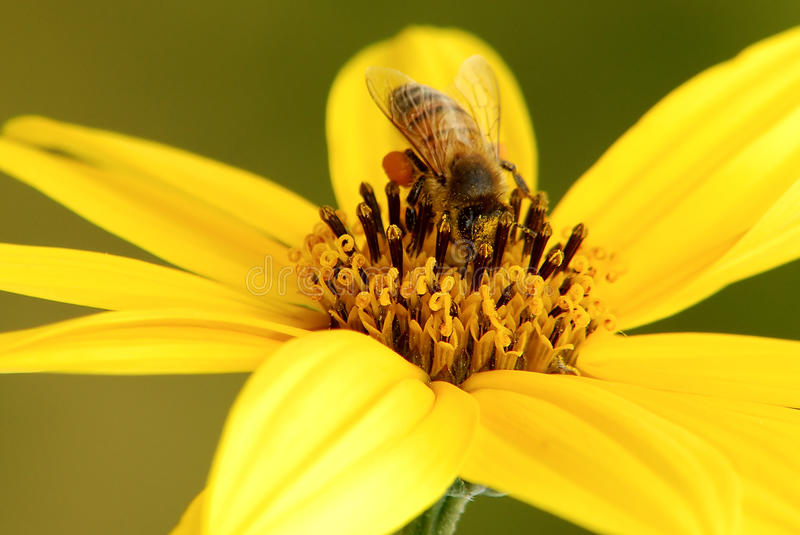Download Bee and pollen stock image. Image of floral, summer, scene - 19271289