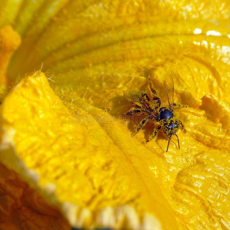 Download Bee in pollen stock image. Image of gardening, zoology - 8634507