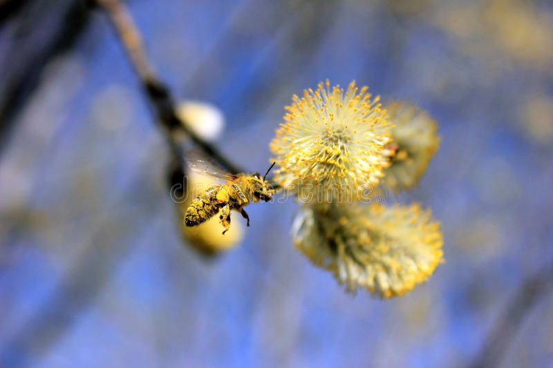 Bee in pollen royalty free stock photo
