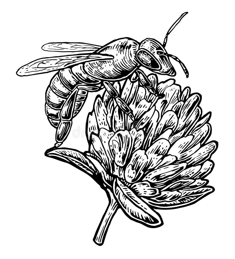 Bee pollen from clover. Vector vintage illustration on white background.  royalty free illustration