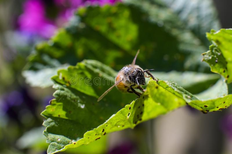 Bee with of pollen in fur on green leaf full of small insects underneath stock photo