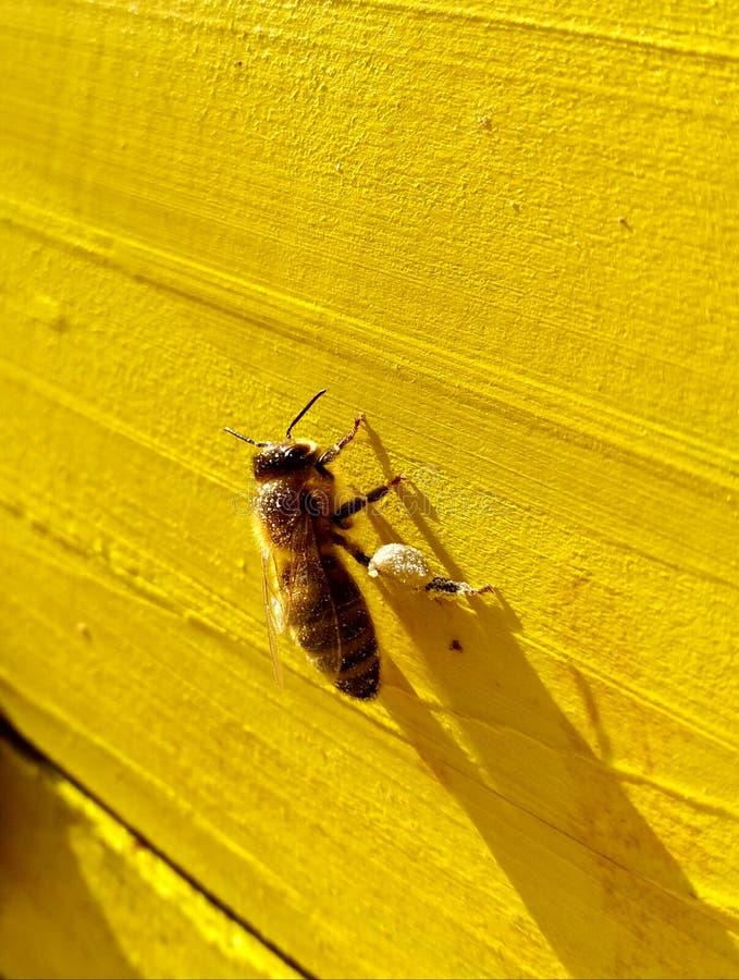 Honey Bee Pollen. Honey bee catch some pollen stock image