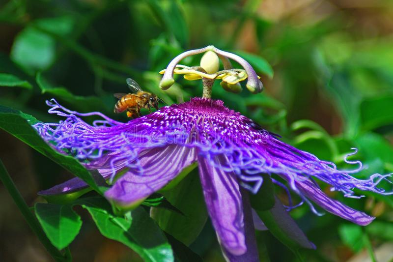 Bee gathering nectar from a  purple passion vine flower. A bee with pollen laden legs feeds from a purple passion vine flower royalty free stock images